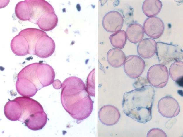 #FocusAlaska Pollen spruce (left) Birch (right) http://wp.me/p3FTnC-4Si