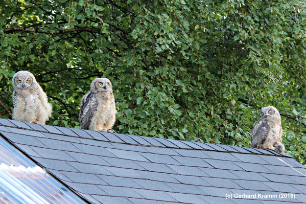 #Alaska #wildlife young owls on the roof of an utility hut. Copyright G. Kramm (2016)