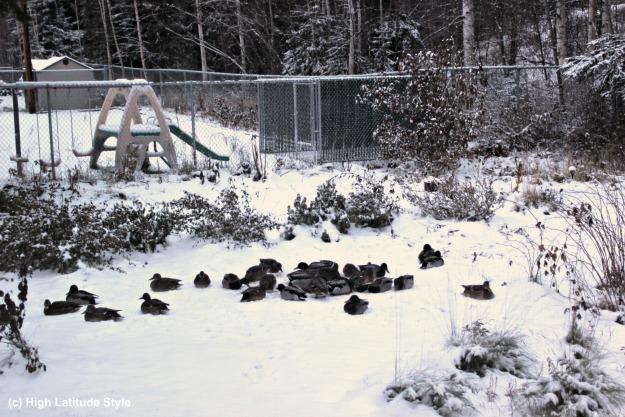 #FocusAlaska ducks overwintering in Alaska