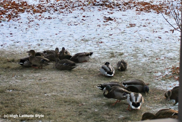 #FocusAlaska ducks in a yard