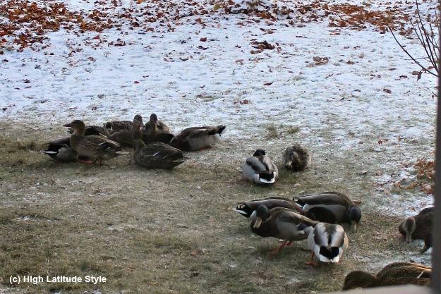 ducks in a yard