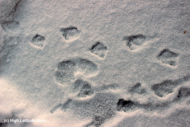 duck and snow-hare tracks in the snow