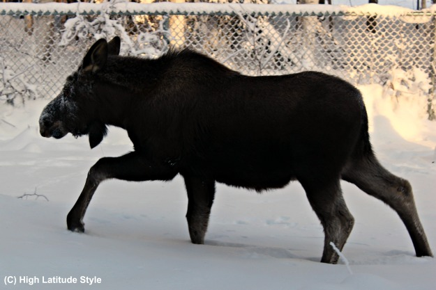 #Alaska #wildlife Moose calf walking thru the deep snow in our backyard