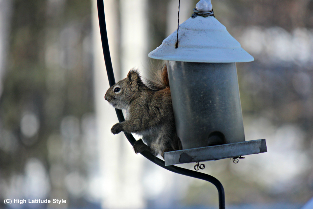 "Alaska squirrel at a ""squirrel-safe"" bird feeder"