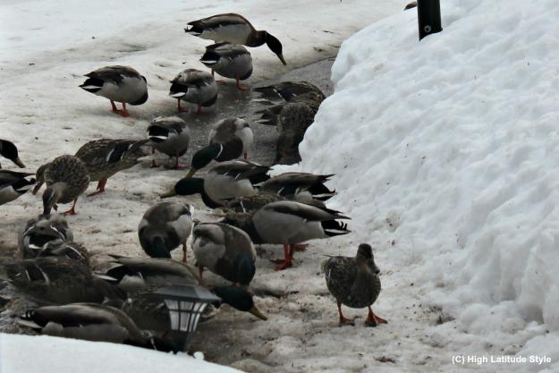Alaska ducks searching for food